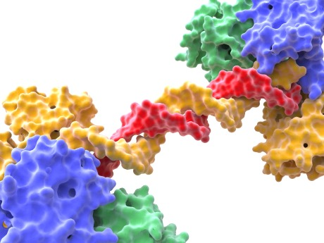 A PARP enzyme bound to a DNA double strand break. A PARP inhibitor kills cancer cells by knocking out their ability to repair damaged DNA.