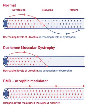 utrophin-modulation